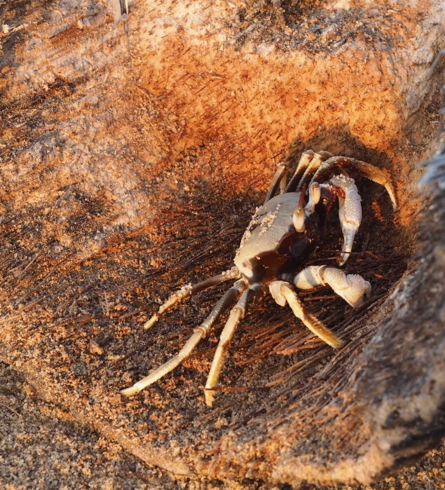 Crab at Sea Gypsy