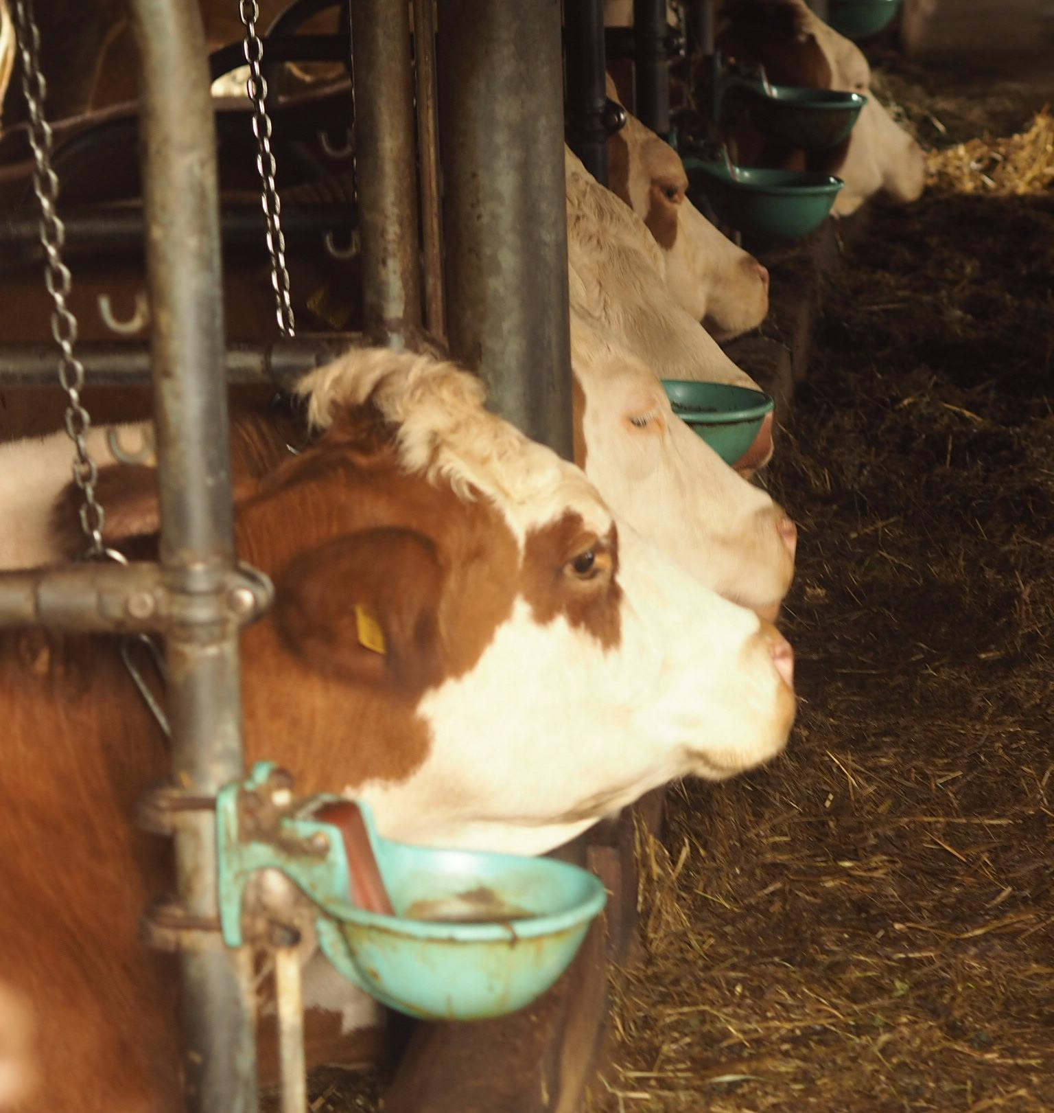 Cows at a local buschenschenk