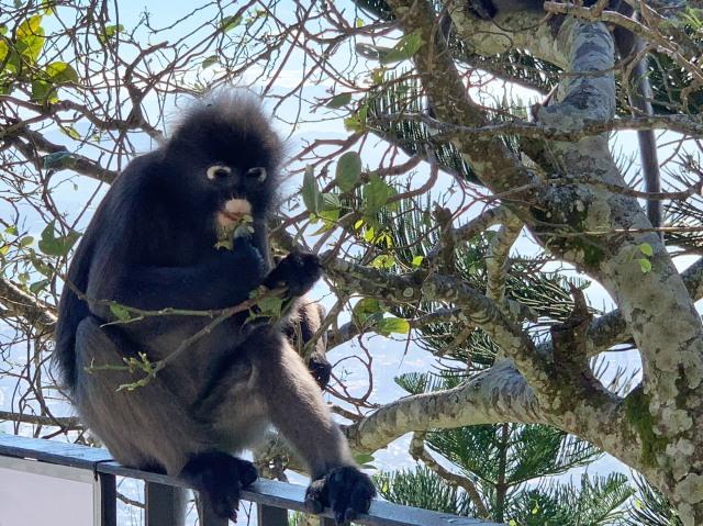 Dusty Leaf Monkey, Penang Hill, Penang