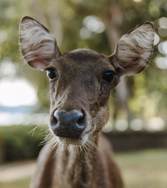Rusa Deer, Amanwana Resort, Moyo Island (Image courtesy of Amanwana)