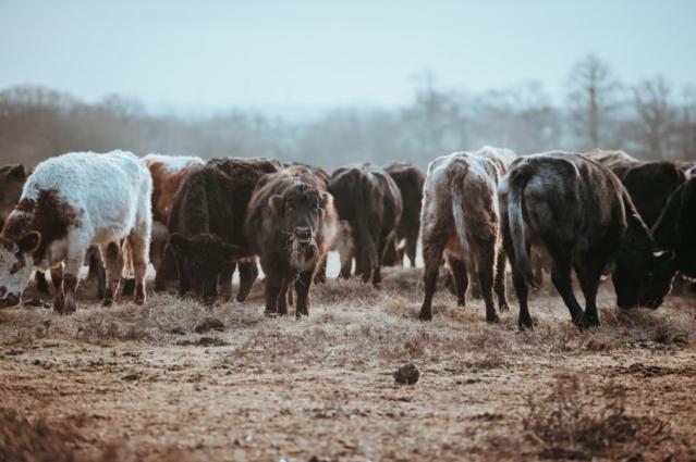 Cattle Drive in America